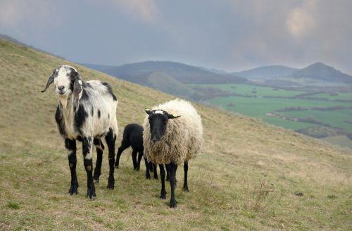 sheep feast animal