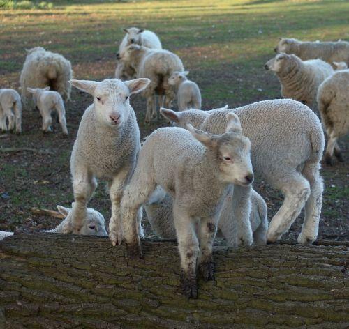 sheep schäfchen lambs