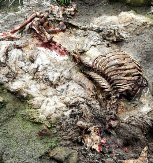 sheep carcass rotten