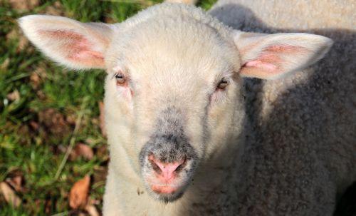 sheep lamb white