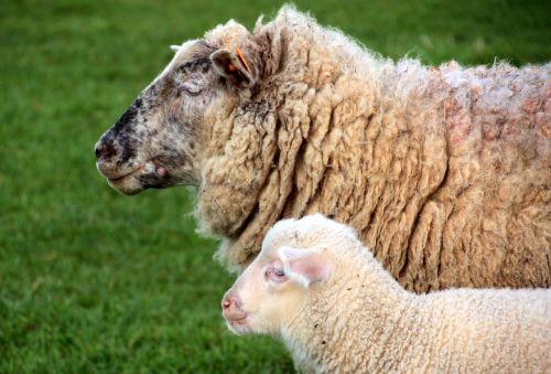 sheep dam lamb