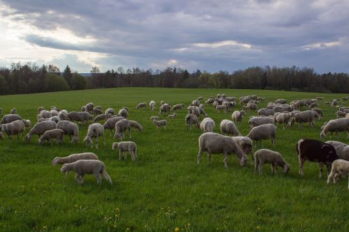 sheep pasture flock