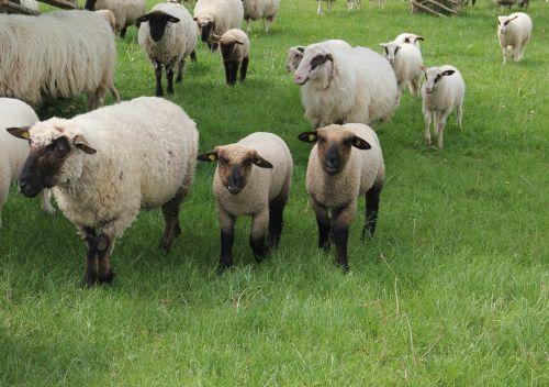 Vestfalijos juodosios galvijų avys,avys,ėriukai,avių pulkas,gyvūnai vaikams,pavasaris,pieva,schäfchen,gamta,vilnos,gyvūnų pasaulis,jaunas,jauni gyvūnai,gyvūnai,ėriena,poilsis,kailiniai gyvūnai,kailis,seefeld,fauna,žinduoliai,Bentheimo kraštines avys