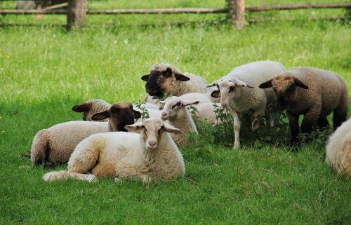 sheep lambs flock of sheep