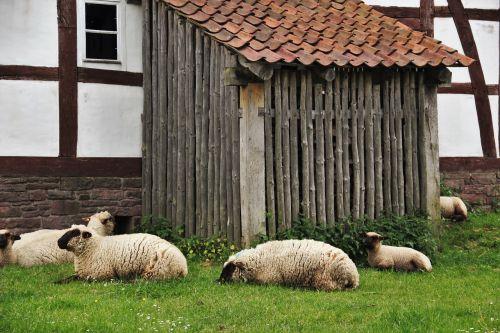 sheep sheep barn farm