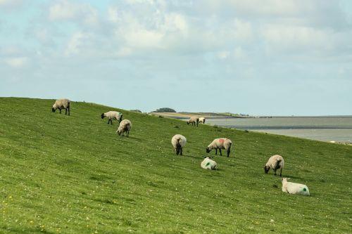 sheep dike sheep dike