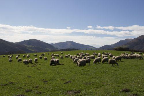 sheep basque country mountain