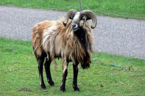 sheep aries animals