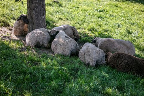 sheep rest break