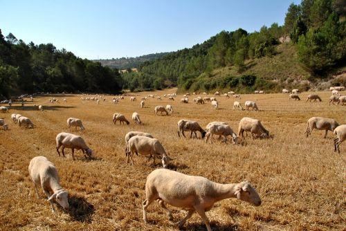 sheep goat nature