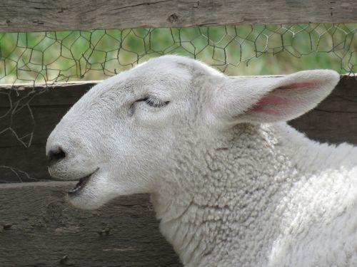 sheep ovis aries animal
