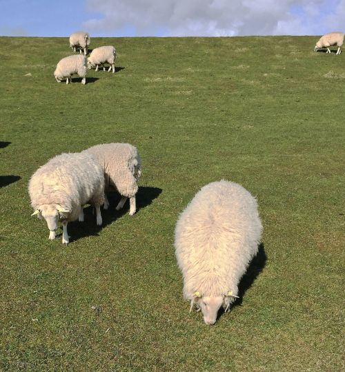 sheep island pellworm