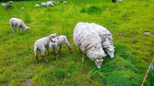sheep lamb puppies