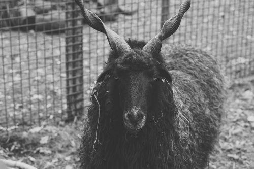 avys,juoda,ragai,juoda avis,vilnos,gyvūnai,gyvūnas,juoda ir balta,pieva,nelaisvė,zoologijos sodas