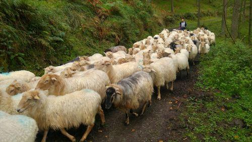 sheep pastor nature