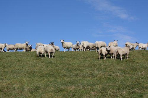 sheep flock dike