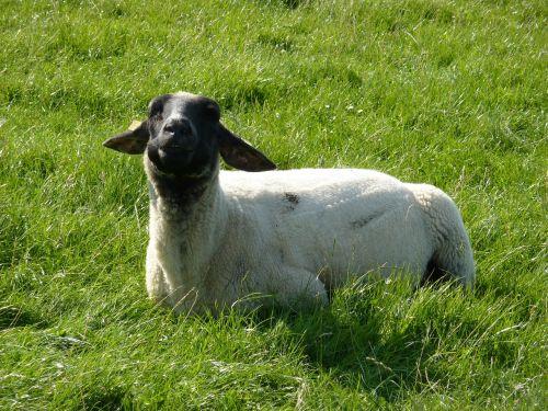 sheep animal fur