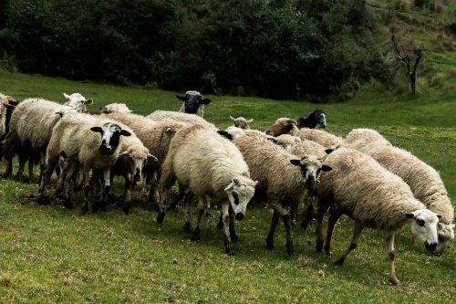 sheep flock livestock