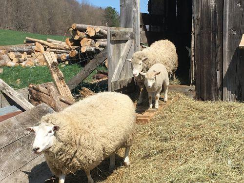 sheep lamb barn