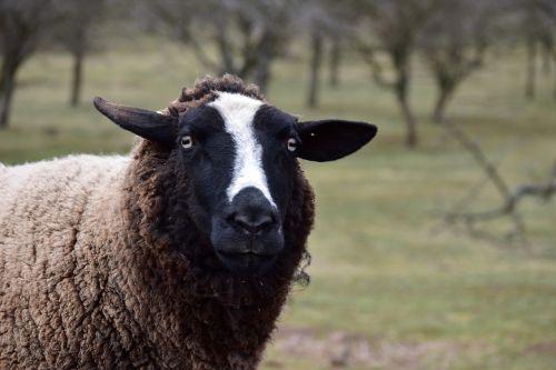 sheep animal wave