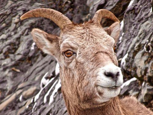 sheep longhorn canadian