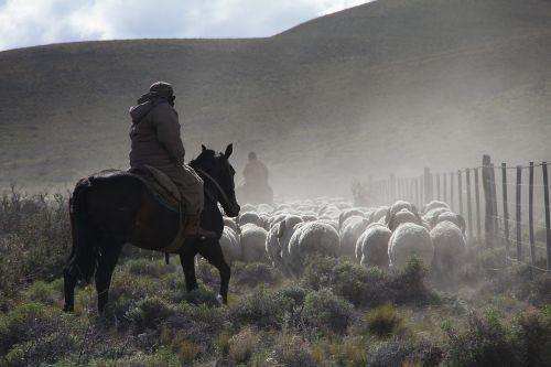 sheep herding field