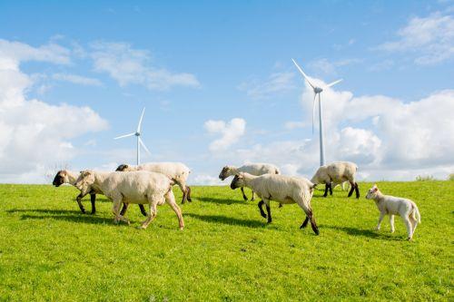 sheep dike north sea