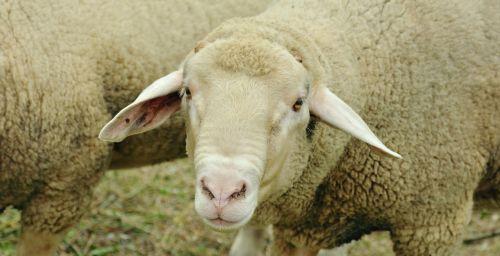 sheep livestock white sheep