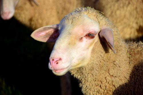 sheep sheepshead wool