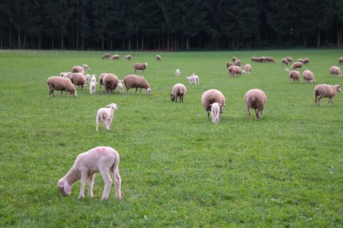 sheep flock of sheep lambs