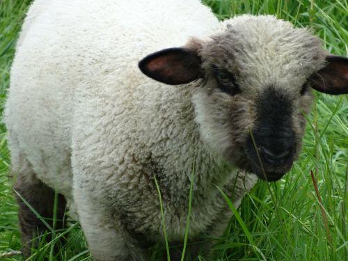 sheep schäfchen lamb