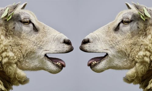 sheep bleat communication