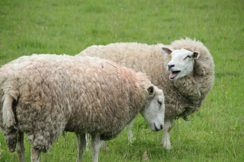 sheep cattle wool