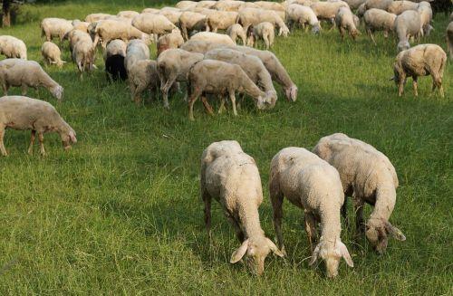 sheep three animals