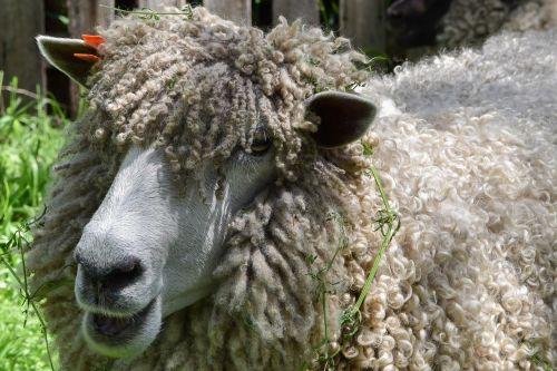 sheep woolly wool