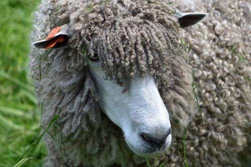 sheep wool woolly
