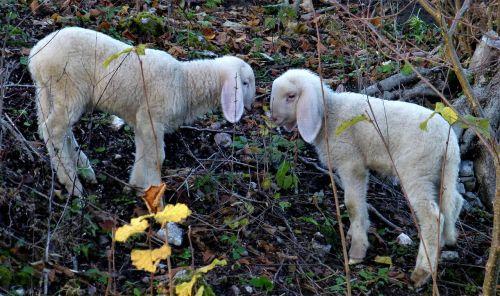 sheep lamb lambs