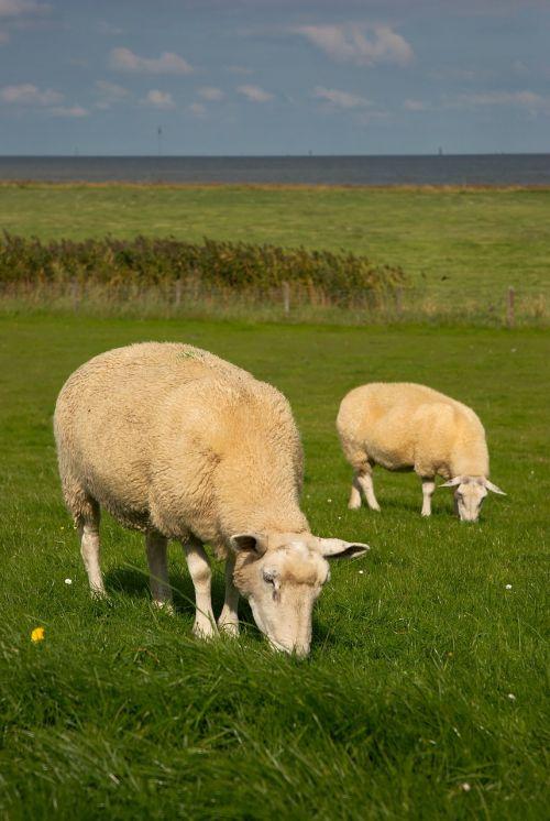 sheep north sea dike sheep
