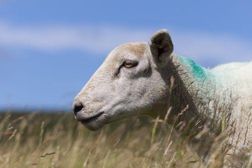 sheep farming farm