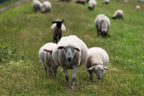 sheep dike dike sheep