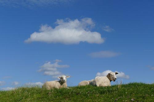 sheep summer dike