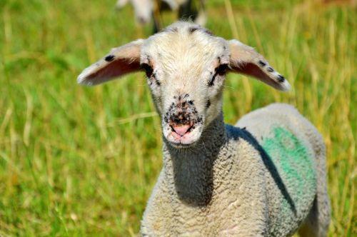 sheep schäfchen livestock