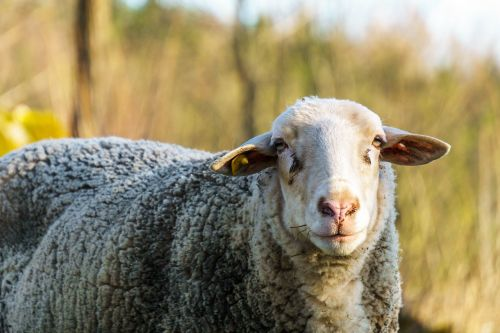 sheep sun animals