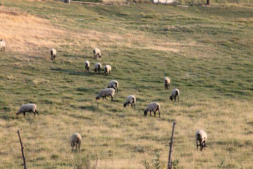 sheep animal farm