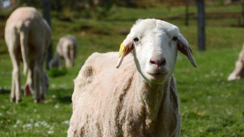 sheep the animal on the pasture farm animal