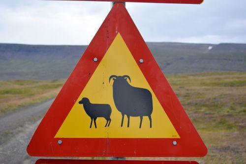 sheep lamb warning