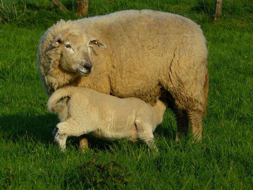 sheep wool animal