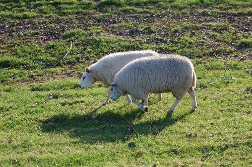 sheep pasture green