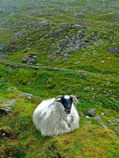 sheep ireland cute