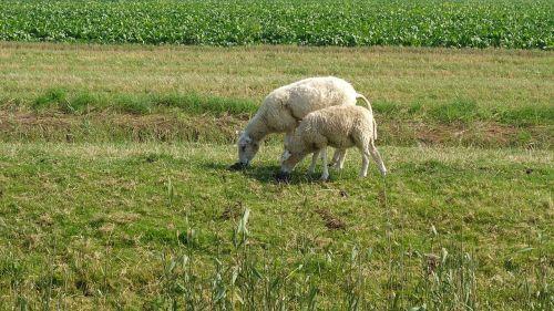 sheep wool sheep's wool